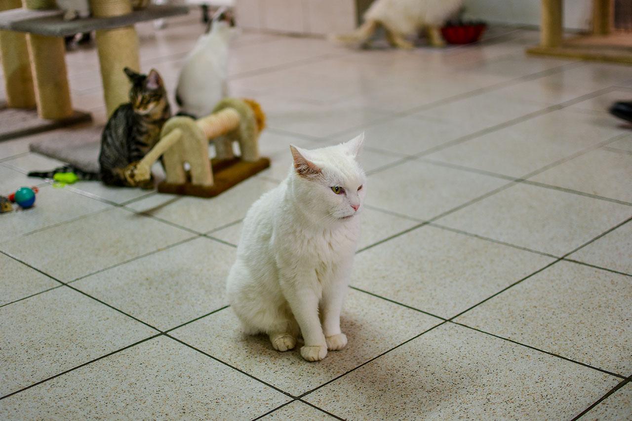 Torre Argentina white cat