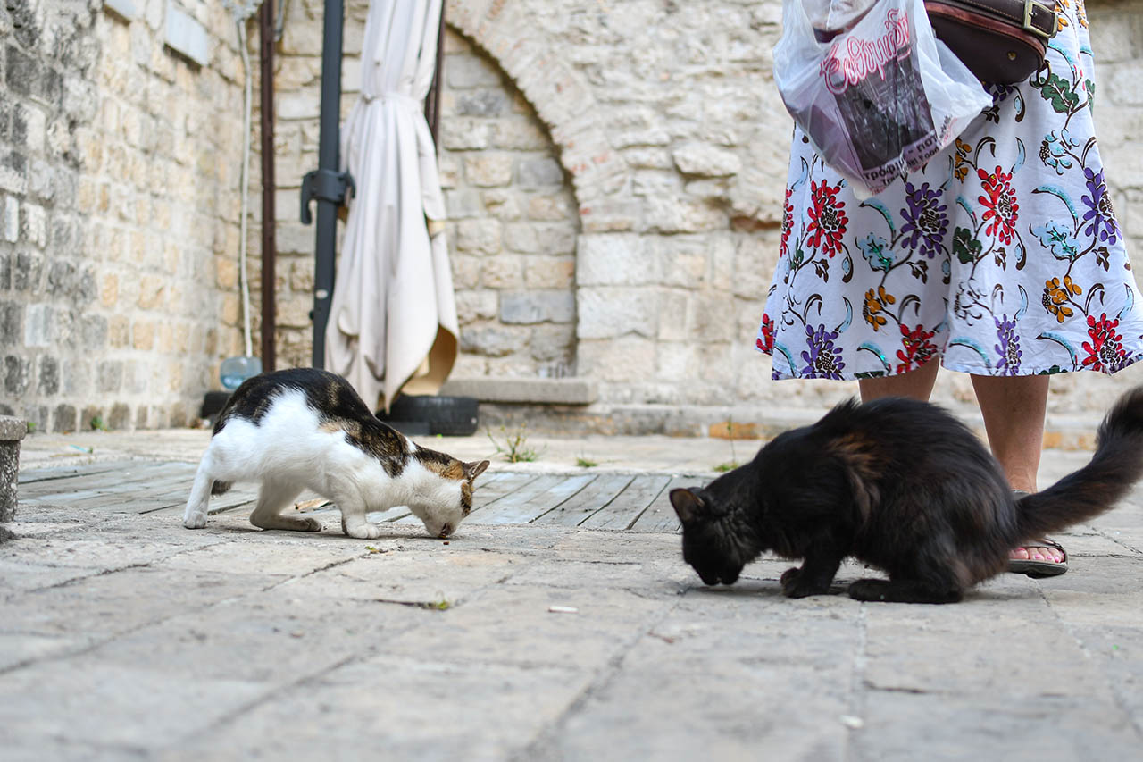 cats eating kotor