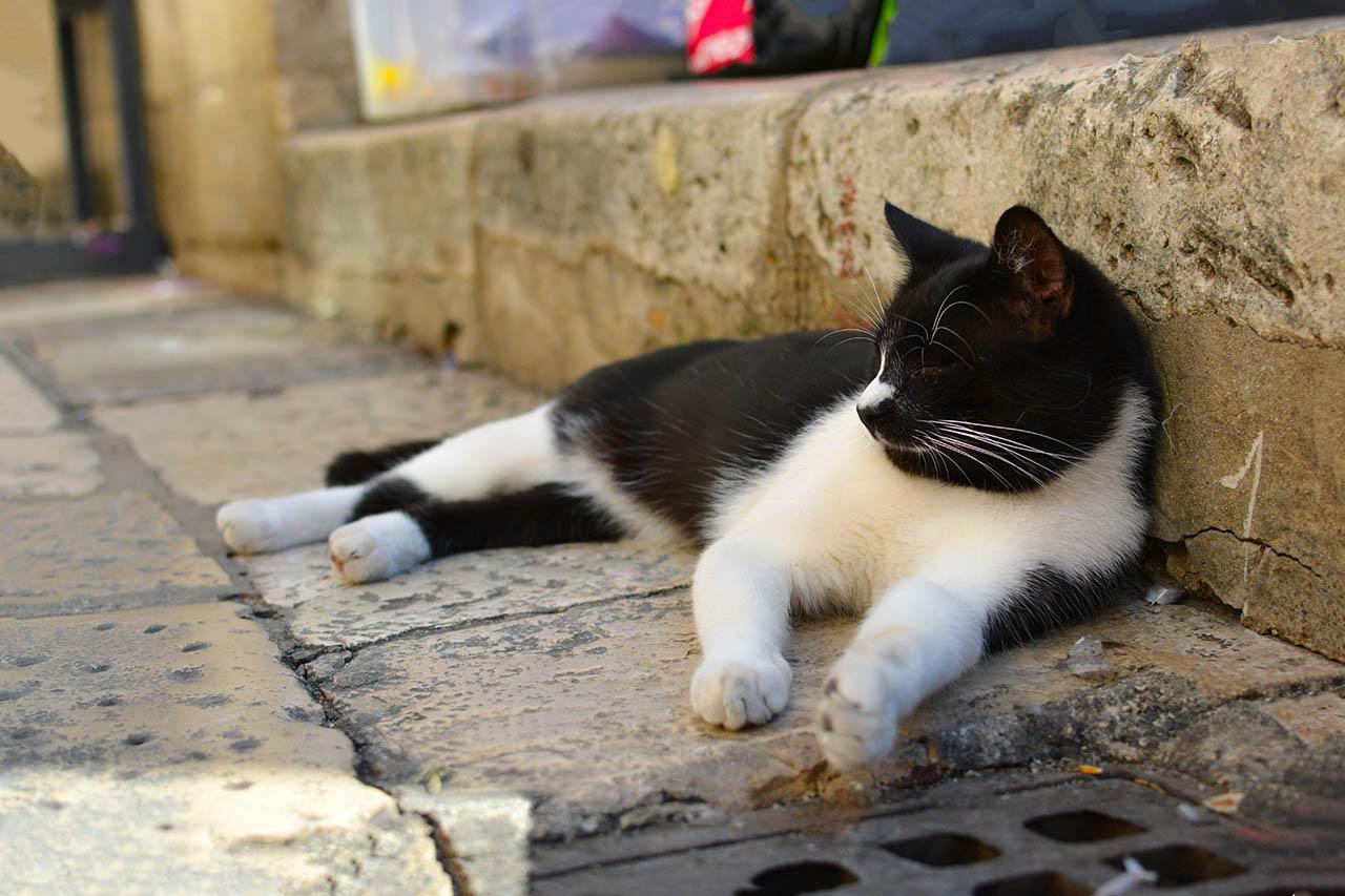 dubrovnik street cat