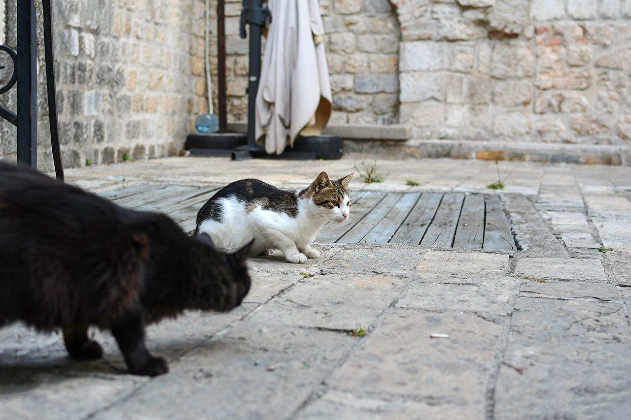 kotor cats near entrance