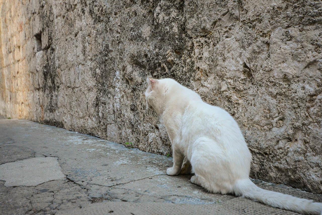 old white cat